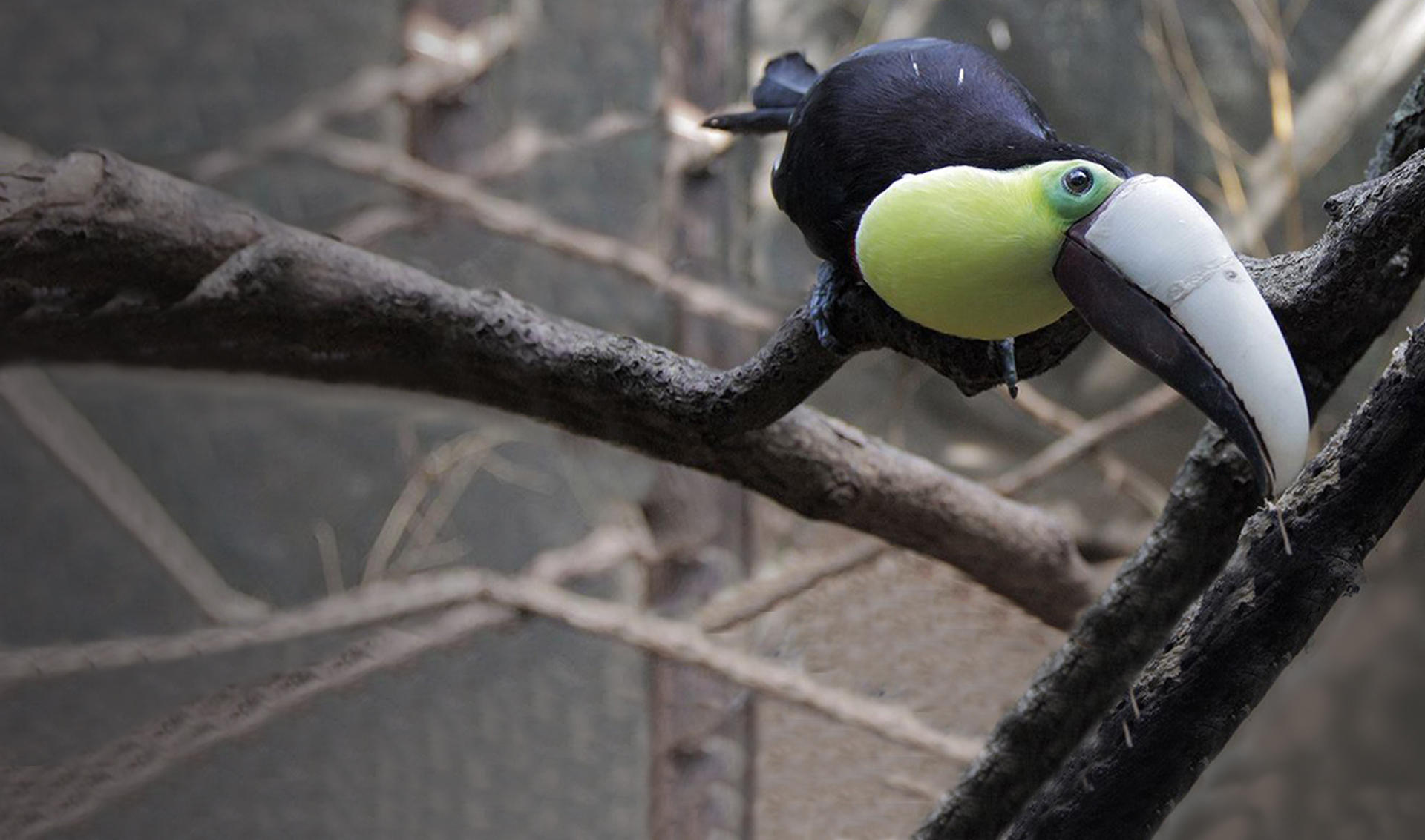 3D printed prosthetic beak for Grecia the Toucan