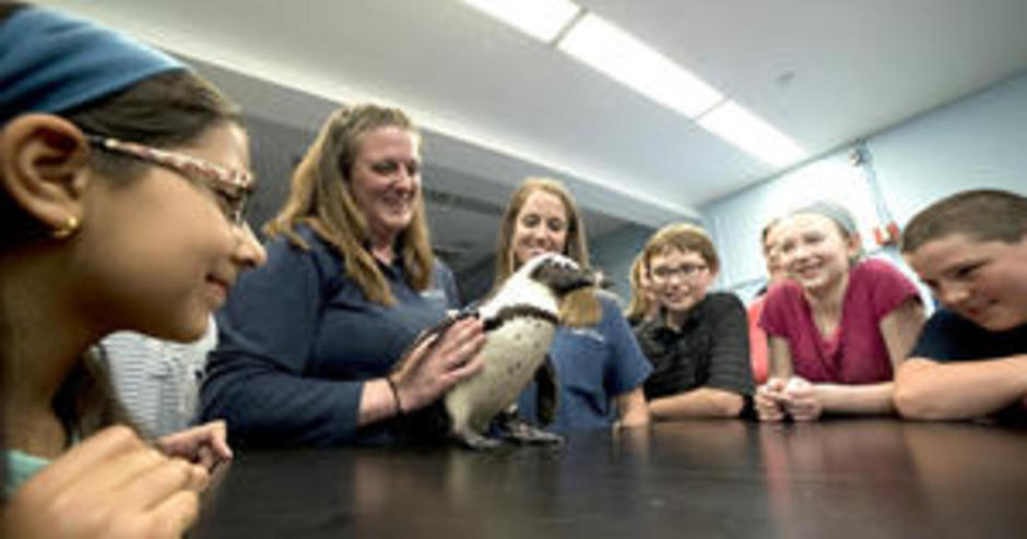 Injured Penguin Walks Again With A 3D Printed Boot