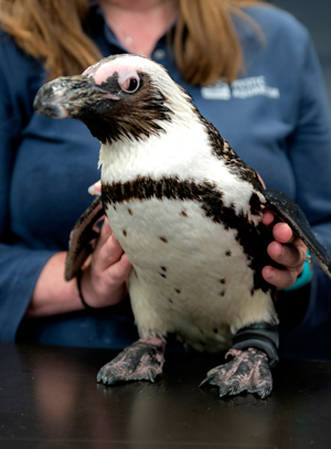Purps der Pinguin